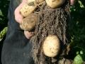Bonden Micke i potatislandet Säby gård