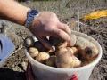 Självplock potatis 9