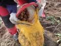 Självplock potatis 21