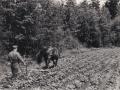 Farfar Holger kupar potatis med hästen Saga - 50-talet