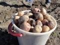 Självplock potatis 24