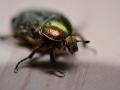 Olivgrön guldbagge på besök
