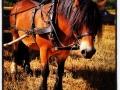 Hästen Loke