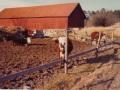 Kossorna våren 1975