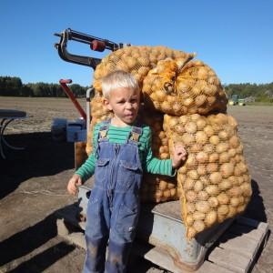 Lucas har plockat många potatisar!