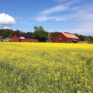 Rapsfältet vid Säby Gård på Ingarö i full blom