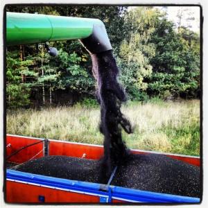 Rapsen töms från tröskan till vagnar som transporteras hem till gården där vi torkar fröna innan de pressas