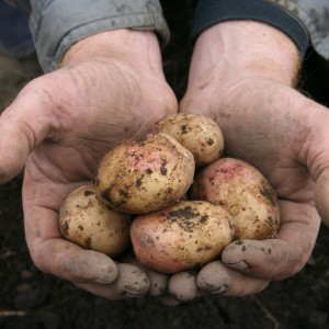 Potatis i händer